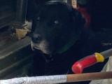 Labrador Noir recherche femelle pour saille gratuite