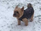 Yorkshire Terrier disponible pour saillie