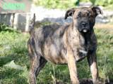 A vendre : 3 femelles Dogue de Majorque LOF âgées de 4 mois