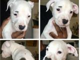 4 chiots American Staffordshire Terrier à vendre (2 Femelles & 2 Mâles)