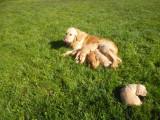 Chiots Golden Retriever LOF à réserver