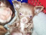 2 chiots Chihuahuas à vendre (1 Femelle & 1 Mâle)