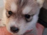 Fascinants chiots Huskies de Sibérie gris, LOF : 2 femelles et 5 mâles disponibles dès le 25 novembre 2021
