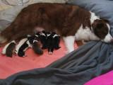 8 chiots Berger Australien à vendre (5 Femelles & 3 Mâles)
