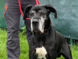 Mâle adulte de type Dogue Allemand robe noire et blanche 6 ans à adopter