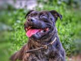Chiots Staffordshire Bull Terrier LOF à réserver
