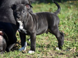 Chiot Staffordshire Bull Terrier LOF à vendre