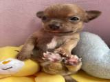 3 Chihuahuas disponibles à la réservation