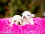 Chiots mâles Chihuahua LOF cream à réserver