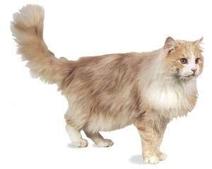 Maine Coon 2004-01-050501pict_B32a
