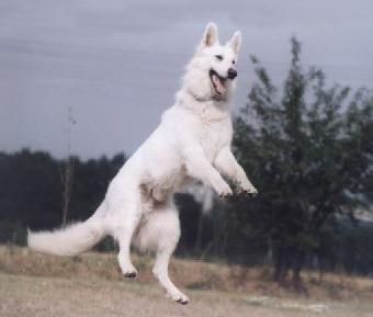 Berger blanc suisse tout sur cette race de chien - Race chien volt ...