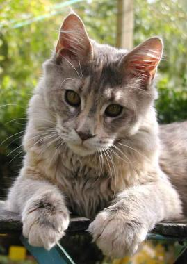 Maine Coon 2004-04-292904pict_B32f